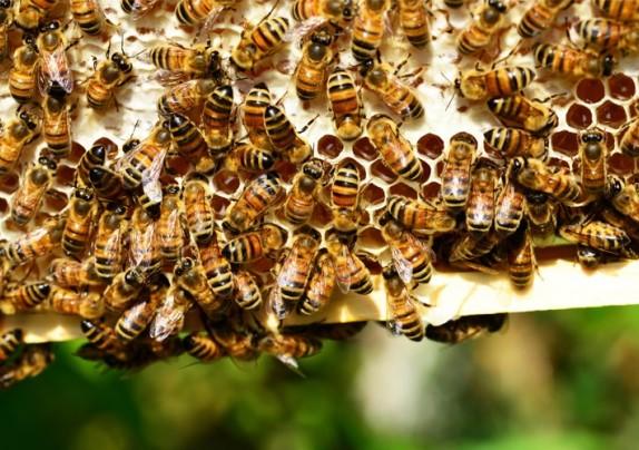Objavljen Pravilnik o provedbi Nacionalnog pčelarskog programa od 2020. godine.