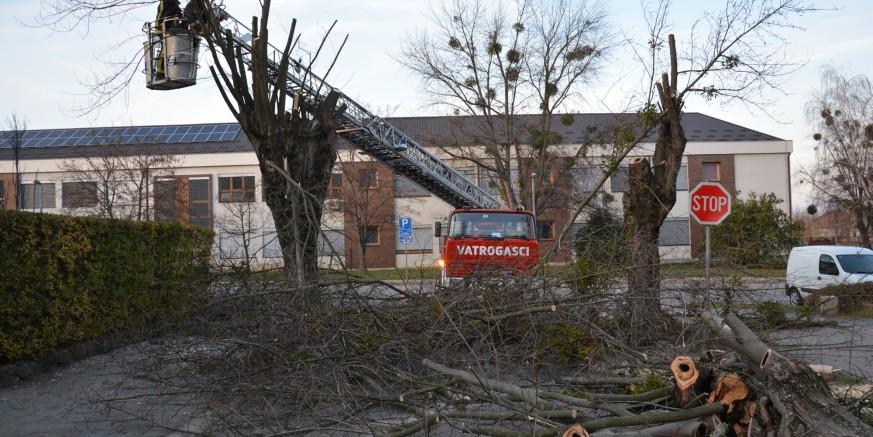 Ruši se stari drvored u Arnoldovoj ulici – centralna trulež zahvatila 95 posto stabala