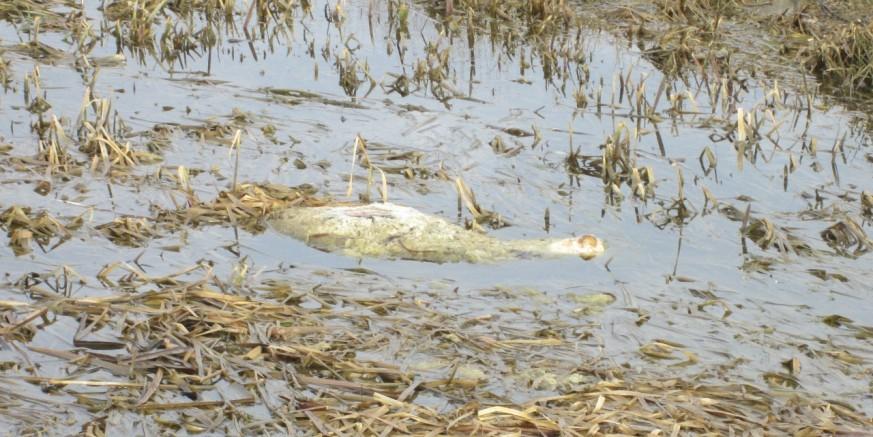 Uklonjene lešine ovaca iz potoka Matačina i Pojatno