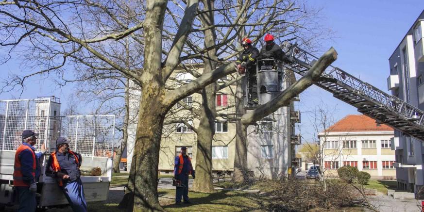 Potkresane platane u Arnoldovoj, idućeg tjedna sadnja drvoreda u Kumičićevoj