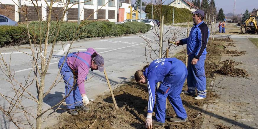 Novi drvored: Počela je sadnja likvidambara u Kumičićevoj ulici