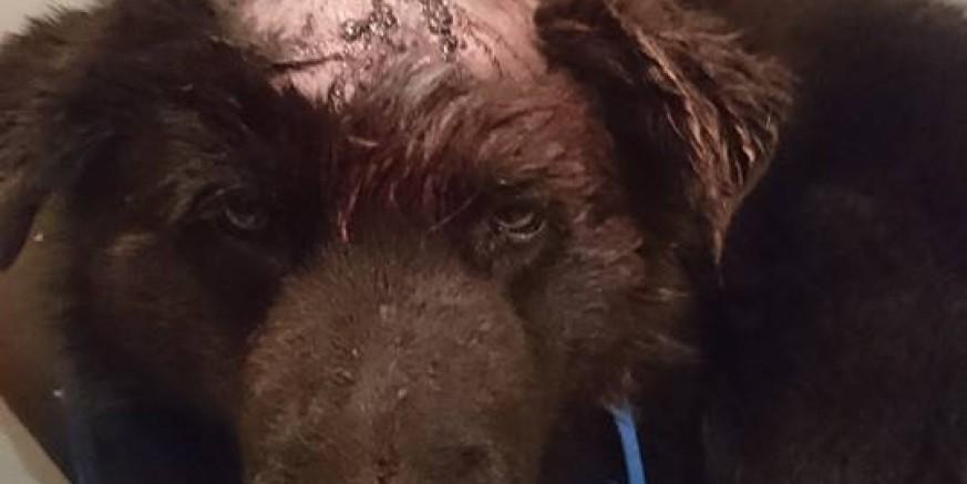 Grad Ivanec podmirit će troškove liječenja divljački pretučenog psa pronađenog u šumi na Horvatskom