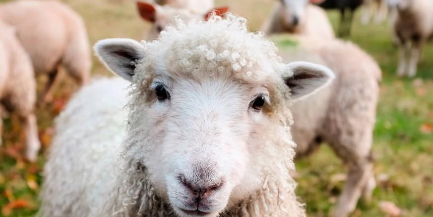 Poziv na suradnju OPG-ovima s područja grada Ivanca zainteresiranima za ovčarsku proizvodnju
